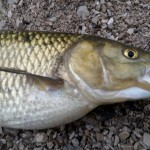 Lago lipless 8,5 cm col  VEOLST 25 gr